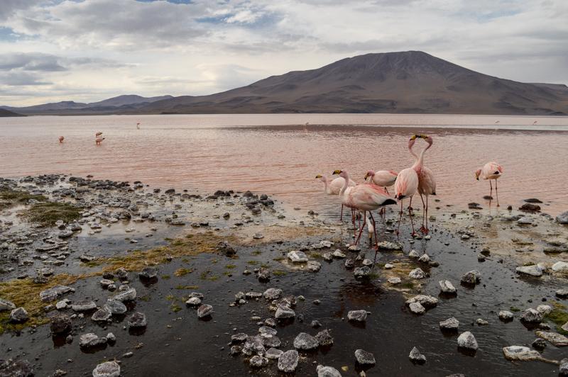 flamingoskissorifght