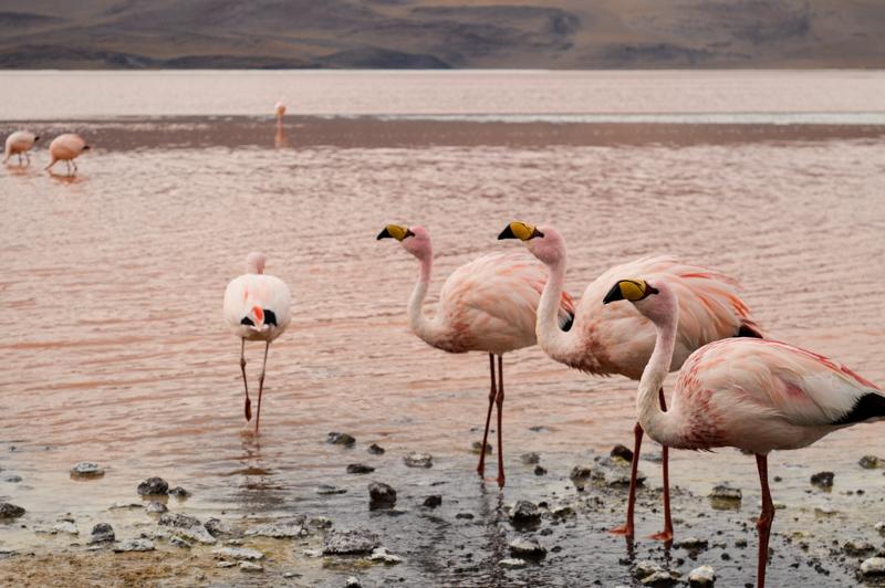 flamingosthree