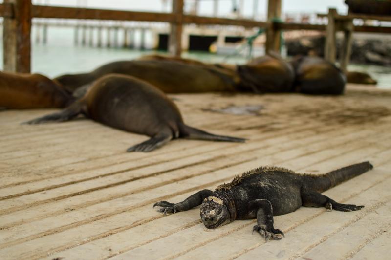 marineiguanaconfused