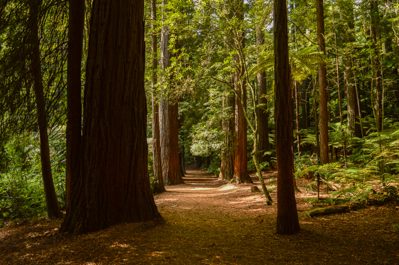 redwoodstrees
