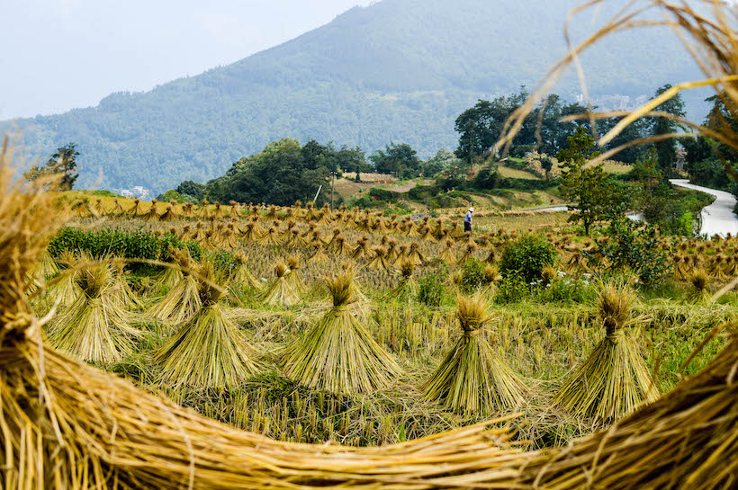 yuanyangdryingricefieldswithman
